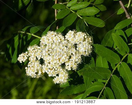 White flowers and leaves of blossoming rowan tree sorbus aucuparia close-up selective focus shallow DOF.