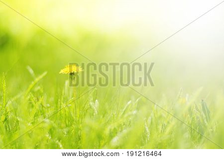 Green delicate background with grass and dandelion.Beautiful floral background