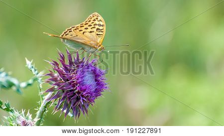 Beautiful butterfly feeding on large thistle. Proboscis close-up.