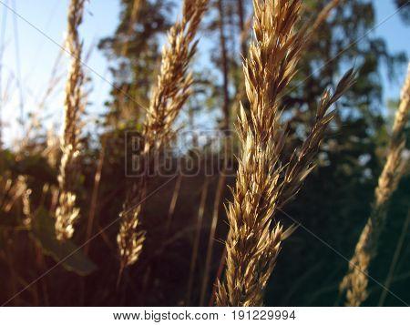 Wild rye or wheatgrass growing in sunlight
