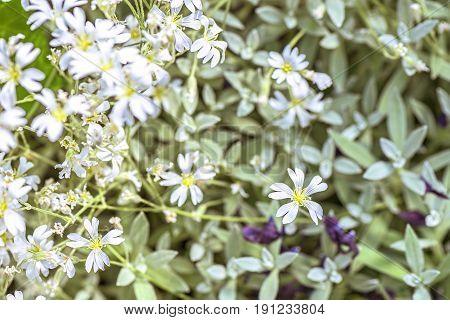 White flowers background euphorbia leucocephala lotsy, close up and shallow focus