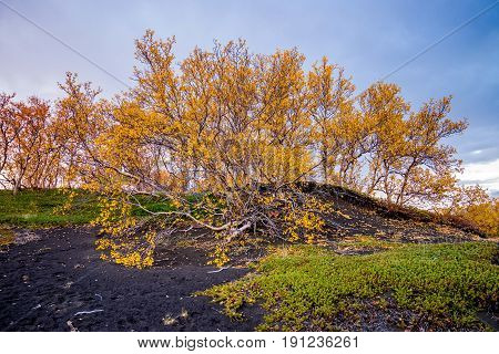 Colourful trees at lake Myvatn in Iceland at autumn
