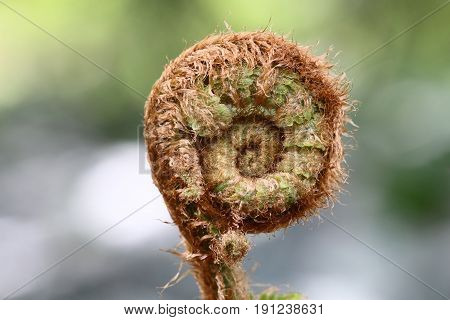 Detail of the sprout of fern - macro