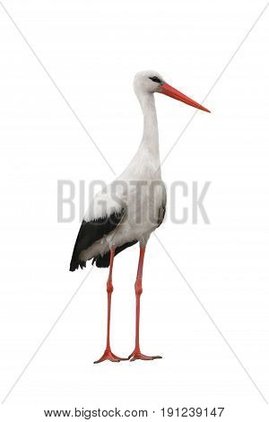 stork bird isolated on a white background