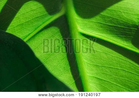 Green leaf in sunlight up close