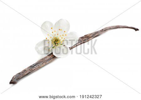 Dried vanilla stick and flower on white background