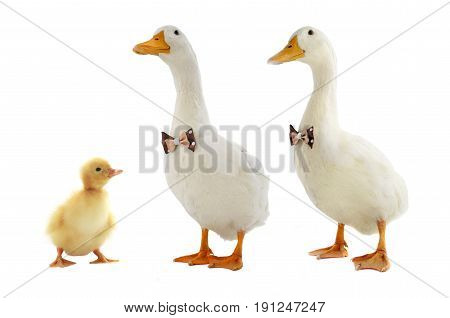 two ducks with a bowtie and one little duck white background