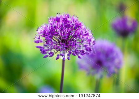 Purple allium flower blooming in spring