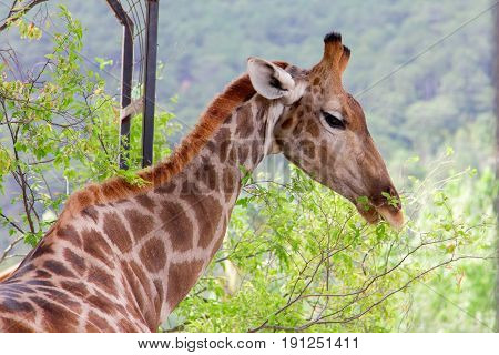 Giraffe eating green leaves from tree. Animal nature photo.