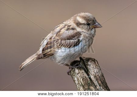 Bird House Sparrow - Passer Domesticus Sitting On A Wooden Stump