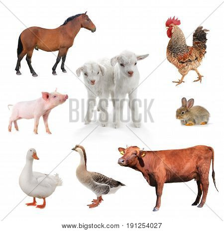 the a livestock isolated on a white background.