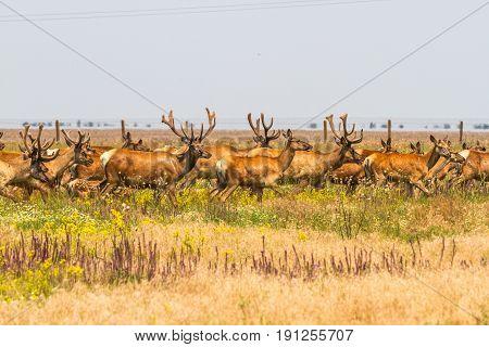A Herd Of Noble Deer Graze In The Steppe.