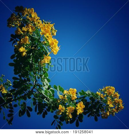 Yellow flowers in L shape under deep blue background