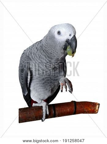 Parrot african grey with green grapes in its beak
