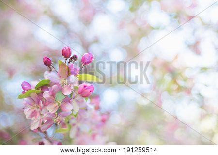 Spring Flowering Tree. Pink Inflorescence In The Sun