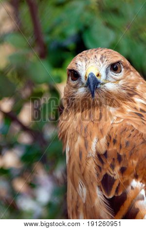 Wild falcon on the blur green background. Close up portrait of a wild red tailed hawk.