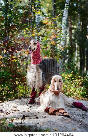 Portrait Portrait of two Afghan greyhounds beautiful dog show appearance. Beauty salon grooming dog care hairstyles for dogs dog stylistof two Afghan greyhounds beautiful dog show appearance. Beauty salon grooming dog care hairstyles for dogs dog stylist