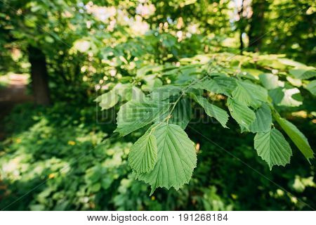Close-up Of Leaf Leaves On Branch Of Green Alder Or Alnus Viridis Tree Growing In Sunny Spring Summer Forest Park.
