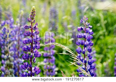 Lupine, Meadow, Grass And Lupins Against The Sky,