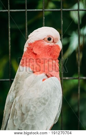 Galah Or Eolophus Roseicapilla, Also Known As The Rose-breasted Cockatoo, Galah Cockatoo, Roseate Cockatoo Or Pink And Grey, Is One Of Most Widespread Cockatoos, And It Can Be Found In Australia