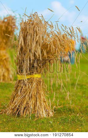 sheaf of straw. grain yield