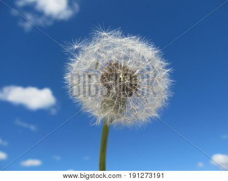 Dandelion in the sky. A white dandelion against the background of the blue sky. Natural flower, plant.