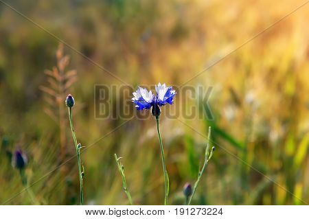 Cornflower flower on wheat field background .