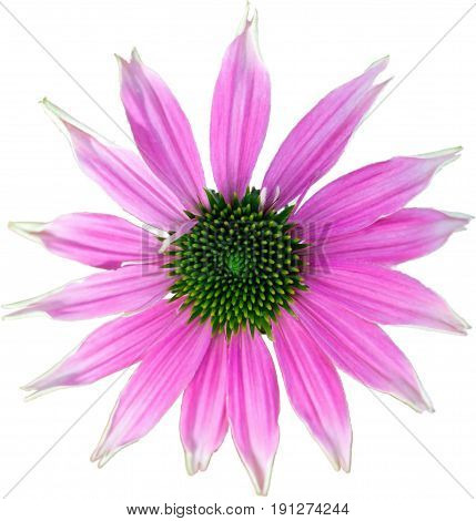 Pink coneflower - The flower of summer on white background