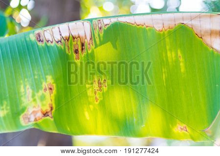 Plant Disease On A Banana Leaf.