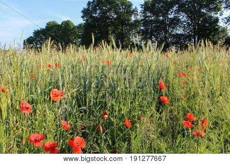 Red Flower Papaver Rhoeas With Trees And Corn