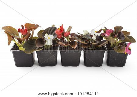 Colorful young garden wax begonia flowers with leaves, Begonia semperflorens-cultorum, in flowerpot on white background