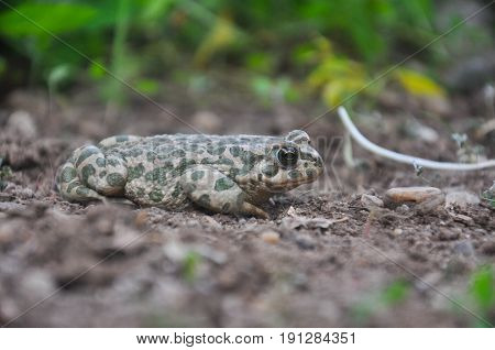 European green toad ( Bufotes viridis ) colorful green european toad close up