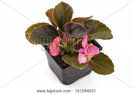 Pink young garden wax begonia flowers with leaves, Begonia semperflorens-cultorum, in flowerpot on white background