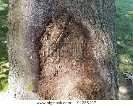 decomposing and rotting brown wood on tree trunk