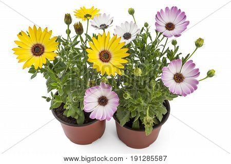 Orange and light pink young garden African Daisy flowers with leaves, Osteospermum Symphony, in flowerpot on white background
