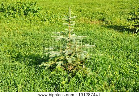 Landscape Design.Landscape gardening. Blue spruce green spruce white spruce Colorado spruce or Colorado blue spruce.