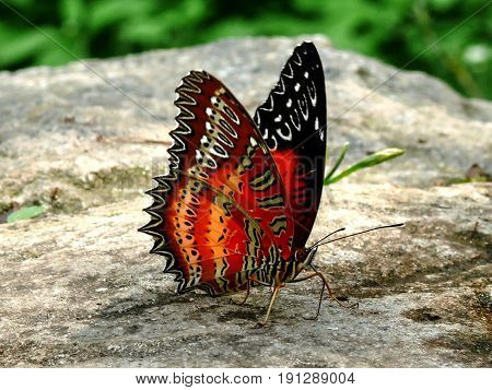 The coloured butterfly sitting on stone - fauna in Nepal