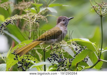 Mountain Bulbul Ixos Mcclellandii Birds Of Thailand