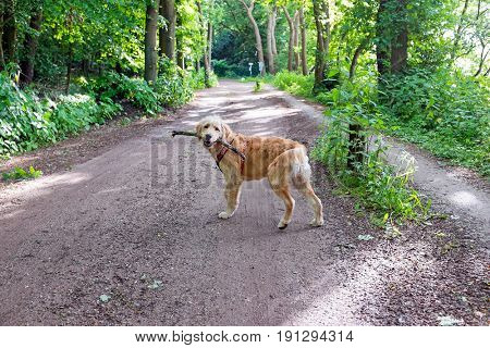 Young labradoodle with a stick in the forest in the Netherlands