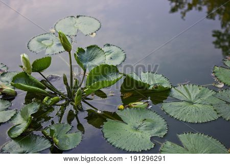 Water Lily plant floating on a pond.