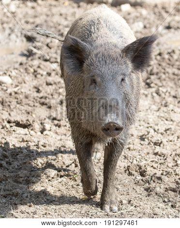 wild boar in the zoo . A photo