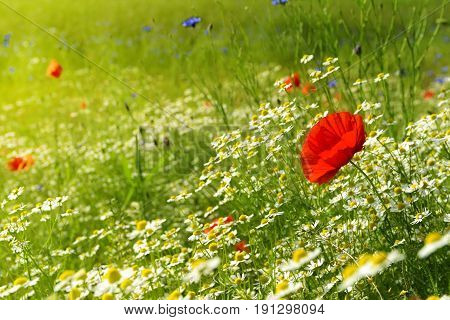 Red poppy on a meadow with a lot of white daisies or chamomile and cornflower in golden sunlight abundance wild flower background with copy space selected focus narrow depth of field