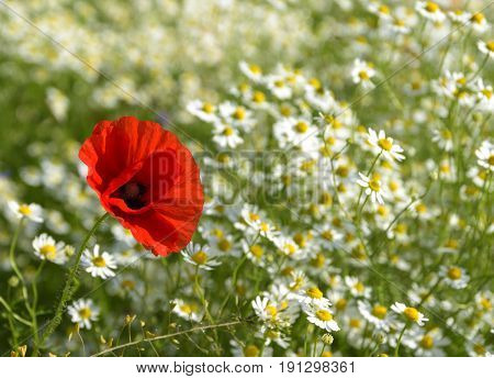 Red poppy on a sunny meadow with white daisies or chamomiles nature background with copy space concept of being different and outstanding selected focus narrow depth of field