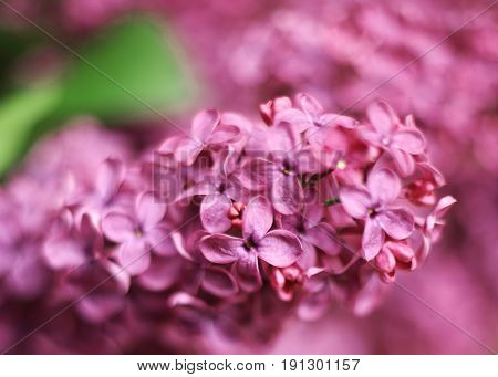 lilac violet flowers close up photo on summer garden