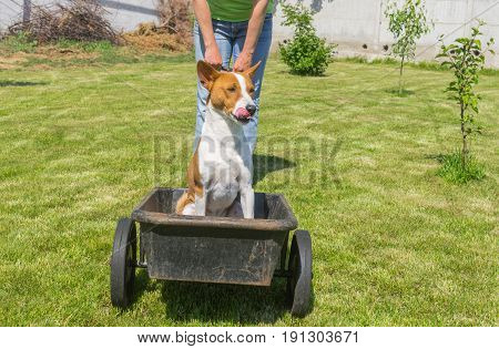 Happy basenji dog in foretaste when the cool ride on a wheel barrow over sunny garden starting. The master is waiting for starter command.