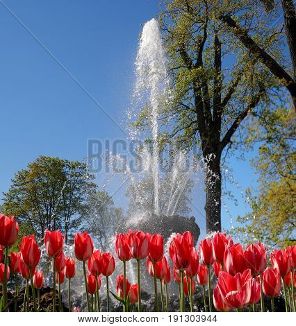 Petergof, Russia - June 5, 2017: Fountain in the Chinese Garden. In the foreground there are tulips. The park area of 112, 5 hectares is decorated with about 150 fountains.