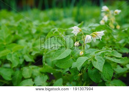 Potato bush with white flowers. White flower of potato on the potato green field background at sunset bokeh