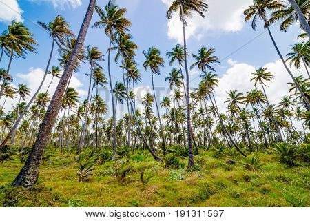 Coconut tree forest plantation field farm Mayaro Manzanilla Trinidad and Tobago