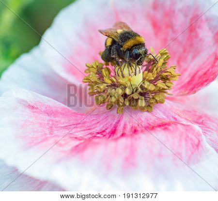 The Bee Pollinating a white poppy closeup