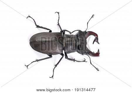 Stag Beetle Bug Insect. Male stag-beetle . Hi resolution studio photography